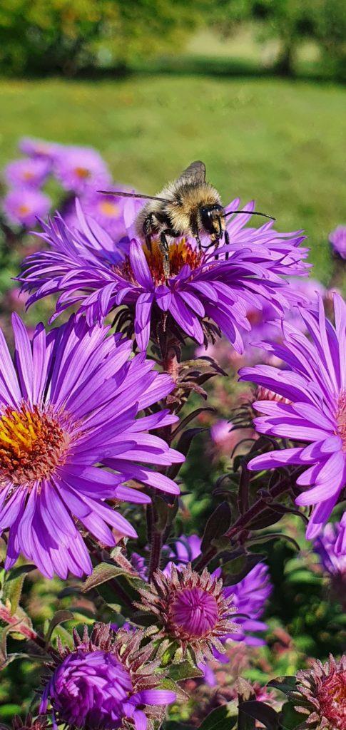 Wildbiene auf einer Aster