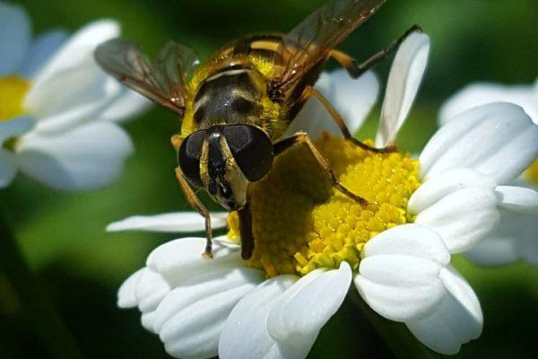 Wildbiene oder Schwebfliege ?