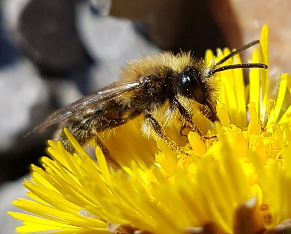 Wildbiene auf Huflattich im Nordschwarzwald