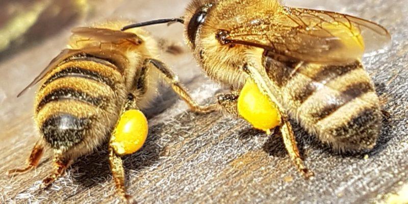 Pollenhoeschen