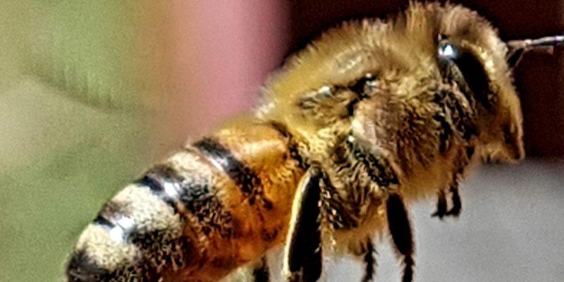 Weltbienentag 2021 Honigbiene
